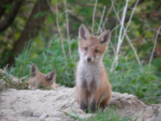 Fox Cub, Wildlife at Synton Mains